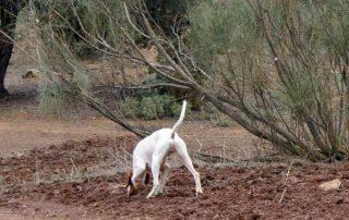 caza-menor-con-perro