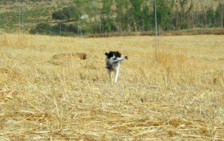 perro-caza