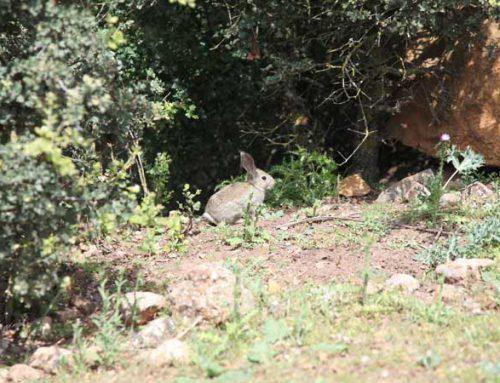 Las últimas novedades de la recuperación del conejo, en el Congreso Ibérico de Caza y Conservación