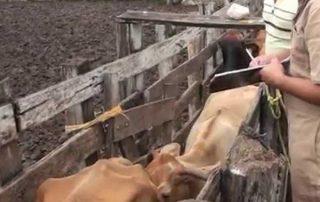 tuberculosis-bovina