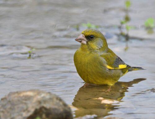 El Miteco traslada a Europa la petición de autorizar capturas en base a las excepciones culturales de la Directiva Aves