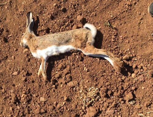 La Mixomatosis sigue avanzando en Extremadura. Reclamamos a la Junta medidas urgentes