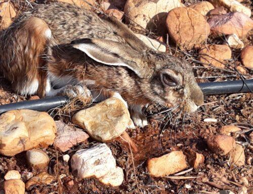 FEDEXCAZA reclama a la Junta medidas urgentes ante el rebrote de la mixomatosis de la liebre en Extremadura