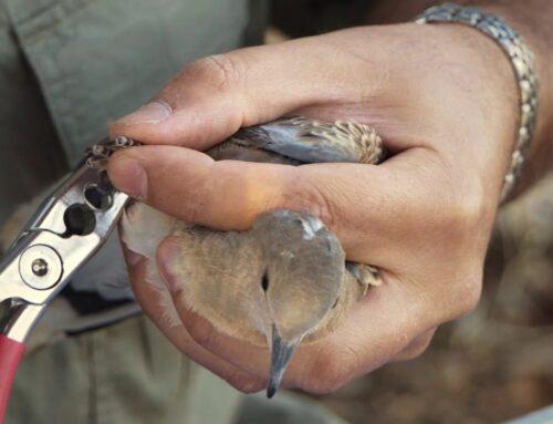 """La RFEC denuncia la """"amenaza"""" de la Fiscalía a las CCAA sobre la tórtola y reclama al MITECO medidas urgentes de gestión para la especie"""