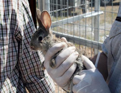 FEDEXCAZA presenta a la Junta un proyecto para recuperar las poblaciones de conejo de campo