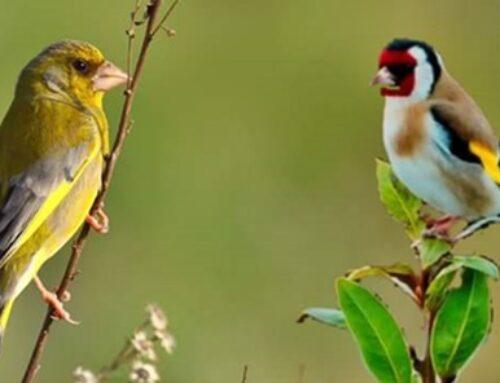 Renovación de las autorizaciones de tenencia de aves fringílidas